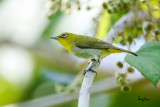 Lowland White-eye (Zosterops meyeni, a near Philippine endemic)   Habitat - Second growth, scrub and gardens.   Shooting info - Bacnotan, La Union, Philippines, June 28, 2015, Canon 5D MIII + 400 2.8 IS + Canon 2x TC II,  800 mm, f/5.6, ISO 640, 1/640 sec, 475B/516 support, manual exposure in available light, near full frame resized to 1500x1000.