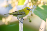 Lowland White-eye (Zosterops meyeni, a near Philippine endemic)   Habitat - Second growth, scrub and gardens.   Shooting info - Bacnotan, La Union, Philippines, June 29, 2015, Canon 5D MIII + 400 2.8 IS + Canon 2x TC II,  800 mm, f/5.6, ISO 320, 1/250 sec, 475B/516 support, manual exposure in available light (pushed 1.8 stops in PP), near full frame resized to 1500x1000.