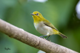 Lowland White-eye (Zosterops meyeni, a near Philippine endemic)   Habitat - Second growth, scrub and gardens.   Shooting info - Bacnotan, La Union, Philippines, June 29, 2015, Canon 5D MIII + 400 2.8 IS + Canon 2x TC II,  800 mm, f/5.6, ISO 2500, 1/250 sec, 475B/516 support, manual exposure in available light, major crop resized to 1500x1000.