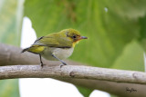 Lowland White-eye (Zosterops meyeni, a near Philippine endemic, immature)   Habitat - Second growth, scrub and gardens.   Shooting info - Bacnotan, La Union, Philippines, June 28, 2015, Canon 5D MIII + 400 2.8 IS + Canon 2x TC II,  800 mm, f/5.6, ISO 2500, 1/400 sec, 475B/516 support, manual exposure in available light, major crop resized to 1500x1000.