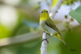 Lowland White-eye (Zosterops meyeni, a near Philippine endemic)   Habitat - Second growth, scrub and gardens.   Shooting info - Bacnotan, La Union, Philippines, June 28, 2015, Canon 5D MIII + 400 2.8 IS + Canon 2x TC II,  800 mm, f/5.6, ISO 640, 1/1000 sec, 475B/516 support, manual exposure in available light (pushed 1.0 stop in PP), near full frame resized to 1500x1000.