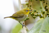 Lowland White-eye (Zosterops meyeni, a near Philippine endemic)   Habitat - Second growth, scrub and gardens.   Shooting info - Bacnotan, La Union, Philippines, July 6, 2015, Canon 5D MIII + 400 2.8 IS + Canon 2x TC II,  800 mm, f/5.6, ISO 3200, 1/320 sec, 475B/516 support, manual exposure in available light, uncropped full frame resized to 1500x1000.