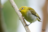Lowland White-eye (Zosterops meyeni, a near Philippine endemic)   Habitat - Second growth, scrub and gardens.   Shooting info - Bacnotan, La Union, Philippines, July 6, 2015, Canon 5D MIII + 400 2.8 IS + Canon 2x TC II,  800 mm, f/5.6, ISO 800, 1/250 sec, 475B/516 support, manual exposure in available light, major crop resized to 1500x1000.