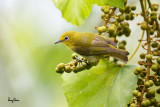 Lowland White-eye (Zosterops meyeni, a near Philippine endemic)   Habitat - Second growth, scrub and gardens.   Shooting info - Bacnotan, La Union, Philippines, July 6, 2015, Canon 5D MIII + 400 2.8 IS + Canon 2x TC II,  800 mm, f/5.6, ISO 800, 1/250 sec, 475B/516 support, manual exposure in available light, near full frame resized to 1500x1000.