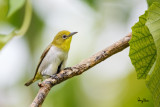 Lowland White-eye (Zosterops meyeni, a near Philippine endemic)   Habitat - Second growth, scrub and gardens.   Shooting info - Bacnotan, La Union, Philippines, July 6, 2015, Canon 5D MIII + 400 2.8 IS + Canon 2x TC II,  800 mm, f/5.6, ISO 640, 1/320 sec, 475B/516 support, manual exposure in available light, near full frame resized to 1500x1000.