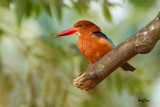 White-throated Kingfisher (Halcyon smyrnensis, resident)  Habitat - Clearings, along large streams and rivers, and in open country.   Shooting info - Bued River, Rosario, La Union, Philippines, October 22, 2015, 7D + 400 2.8 IS + 2x TC II, 800 mm, f/5.6, ISO 320, manual exposure in available light, 475B/3421 support, uncropped full frame resized to 1500x1000.
