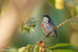 Red-keeled Flowerpecker (Dicaeum australe, a Philippine endemic)   Habitat - Canopy of forest, edge and flowering trees.   Shooting info - Bued River, Rosario, La Union, Philippines, October 29, 2015, Canon 5D MIII + 400 2.8 IS + Canon 2x TC II, 800 mm, f/5.6, ISO 640, 1/200 sec,  475B/516 support, manual exposure in available light, near full frame resized to 1500x1000.