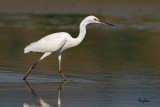 Little Egret (Egretta garzetta, migrant) 