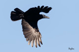 Large-billed Crow in flight
