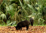 Wild Hogs-Blue Spring State Park