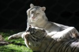 Big Cats at the Siegfried & Roy's Secret Garden and Dolphin Habitat