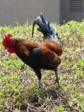 Kaua'i Marriott Resort Rooster