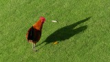 Princeville Rooster and his Shadow