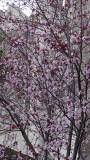 Nob Hill Cherry Blossoms