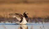IJseend/Long-tailed Duck