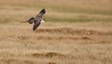 Kleinste Jager/Long-tailed Skua