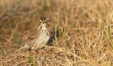 Savannahgors/Savannah Sparrow