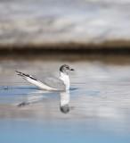 Vorkstaartmeeuw/Sabine's Gull