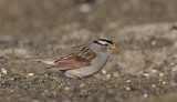 Witkruingors/White-crowned Sparrow