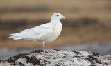 Grote Burgemeester/Glacous Gull