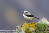 Northern Wheatear (Oenanthe oenanthe)_Mt Gizilgaya (Greater Caucasus)