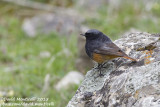 Eastern Black Redstart (Phoenicurus o. ochruros)(male)_Laza (Greater Caucasus)