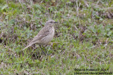 Water Pipit (Anthus s. coutellii)_Laza (Greater Caucasus)