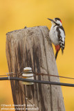 Syrian Woodpecker (Dendrocopos syriacus)(male)_Mistan (Lesser Caucasus)