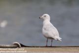 Iceland Gull (Larus glaucoides)(3cy)_Burela, Galicia (Spain)