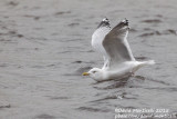 American Herring Gull (Larus smithonianus)(adult)_Lires, Galicia (Spain)