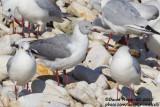 Grey-headed Gull (Chroicocephalus cirrocephalus) with Black-headed Gulls (Ch. ridibundus)_Bisceglie, Puglia (Italy)