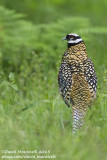 Reeve's Pheasant (Syrmaticus reevesii)(male)_Forêt d'Hesdin (France)