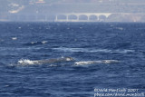 Sperm Whales (Physeter macrocephalus)_off Funchal Harbour (Madeira)
