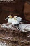 Northern Gannets (Morus bassanus) at breeding colony_Helgoland (Germany)