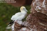 Northern Gannet (Morus bassanus) at breeding colony_Helgoland (Germany)