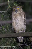 Western Brown Fish Owl (Ketupa zeylonensis)(ssp. semenowi)_Taurus Mountains, Antalya (Turkey)