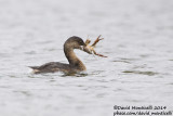 Pied-billed Grebe (Podilymbus podiceps)(1st-winter) with Red Swamp Crayfish (Procambarus clarkii)_Lagoa Azul (São Miguel)