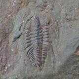 Balcoracania dailyi (12 mm long), Emu Bay Shale Fm, Lower Cambrian, S Australia, showing mineralized gut.