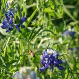 Blue bonnets and bee