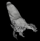 La Voulte coleoid in CT image