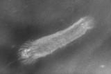 Palaeocucumaria hunsrueckiana Lehman 1958, 80 mm long