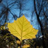 Luminous leaf.jpg
