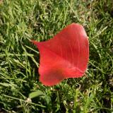 red leaf.jpg