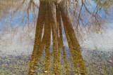 Tree puddle.jpg