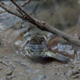 Snakefish 4.jpg