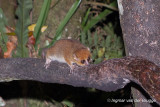 Microcebus rufus - Red Mouse Lemur