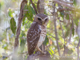 White-browed Hawk-Owl