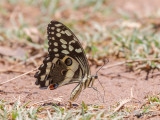 Papilio demodocus - Christmas Butterfly