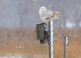 Recent Snowy Owl and Birds 2014