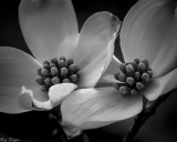 Opening Dogwood Blossoms